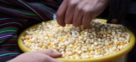 Maiz. Ley Monsanto.